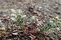 Alyssum strigosum kz1.jpg