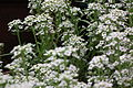 Alyssum white color at lalbagh7324.JPG