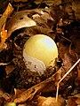 Amanita phalloides young specimen.jpg