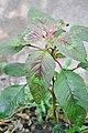 Amaranthus retroflexus Common Amaranth ჩვეულებრივი ჯიჯლაყა (2).JPG