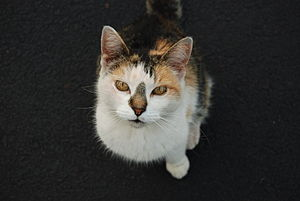 English: Close up view of the face of a Calico...