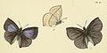 AmblypodiaAnitaNaradoidesMre, 1881AC1.jpg