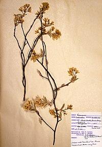 Amelanchier canadensis var. canadensis BW-1966-0507-0869.jpg