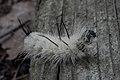 American Dagger Moth (Acronicta americana) Larva - Guelph, Ontario 02.jpg