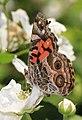 American Lady - Vanessa virginiensis, Occoquan Regional Park, Lorton, Virginia (33824819194).jpg