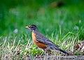 American Robin in Grass.jpg