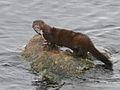 American mink (16142491595).jpg