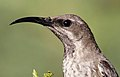 Amethyst sunbird, Chalcomitra amethystina, at Pilanesberg National Park, Northwest Province, South Africa (female) (17019732982), crop2.jpg