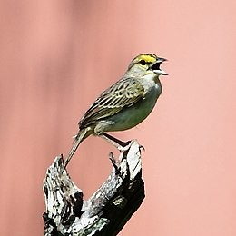 Ammodramus aurifrons - Yellow-browed Sparrow.JPG