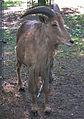Ammotragus lervia Tierpark Walldorf.JPG