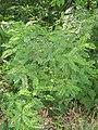 Amorpha fruticosa 01.JPG