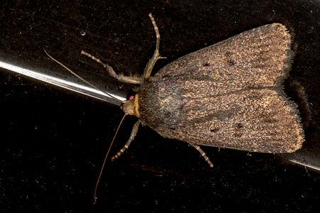 Amphipyra tragopoginis, Lodz(Poland)01(js).jpg