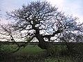 An old oak tree, on a Moat - geograph.org.uk - 650827.jpg