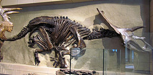 Anchiceratops - NMC 8547 mounted at the Canadian Museum of Nature, completed with a skull cast of NMC 8535. NMC 8547 might represent a separate taxon