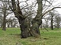 Ancient Oaks in Dalkeith Country Park - geograph.org.uk - 1204536.jpg