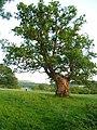 Ancient oak tree, Dan y Parc - geograph.org.uk - 190379.jpg