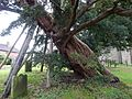 Ancient yew Rotherfield TP14.jpg