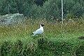 Andean Gull (Chroicocephalus serranus) 2015-06-10 (8) (25456059617).jpg