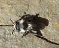 Andrena cineraria. Apidae. ( Female^ ) - Flickr - gailhampshire (2).jpg