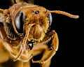 Andrena oman, f, oman, face 2014-10-11-16.21.50 ZS PMax (15098432733).jpg