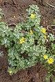 Andryala pinnatifida kz19.jpg