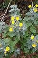 Andryala pinnatifida kz21.jpg