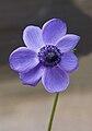 Anemone coronaria-001.jpg
