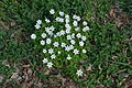 Anemone nemorosa (07).jpg