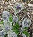 Anemone pulsatilla in Jardin des Plantes 02.jpg