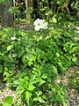 Anemone sylvestris1.jpg