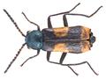 Anthocomus fasciatus (Linné, 1758) male (16414039060).png