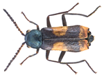 File:Anthocomus fasciatus (Linné, 1758) male (16414039060).png