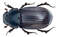 Aphodius (Acrossus) rufipes (Linné, 1758) (15108448799).png