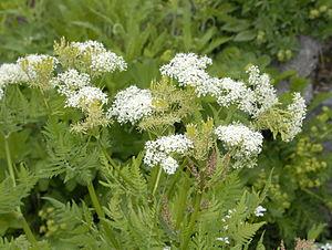 Cicely - Flowers of Myrrhis odorata at the Giardino Botanico Alpino Chanousia