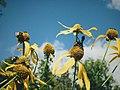 Appalachian Trail flowers Pine Grove Furnace State Park Pennsylvania picture.jpg