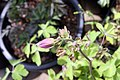 Aquilegia Swan Violet and White 1zz.jpg
