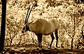 Arabian Oryx (13958070025).jpg