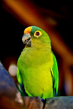 Peach-fronted parakeet - Image: Aratinga aurea Chapada das Mesas National Park Brazil 8