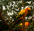 Aratinga solstitialis -Rainforestation Nature Park, Kuranda, North Queensland, Australia-8a.jpg