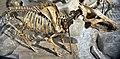 Archaeotherium mortoni fossil giant pig skeleton (Middle Oligocene; Colorado, USA) 2 (32120781432).jpg