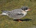 Arctic tern (14829957595).jpg