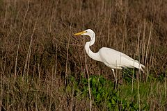 Ardea alba -San Francisco Bay, California, USA -walking-8.jpg