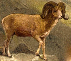 definition of argali