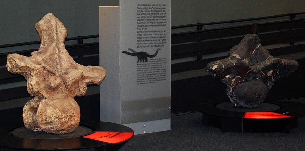 Argentinosaurus and Puertasaurus vertebrae