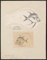 Argyreiosus vomer - 1700-1880 - Print - Iconographia Zoologica - Special Collections University of Amsterdam - UBA01 IZ13500419.tif