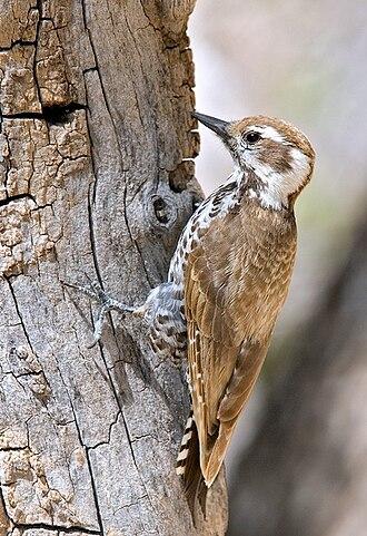 Arizona woodpecker - Female
