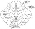 Armadillidium vulgare – pleon, pleopodal lungs.png