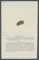 Armadillo luctuosus - - Print - Iconographia Zoologica - Special Collections University of Amsterdam - UBAINV0274 098 09 0010.tif