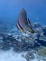 Arrecife de coral de Baros (Maldivas).jpg