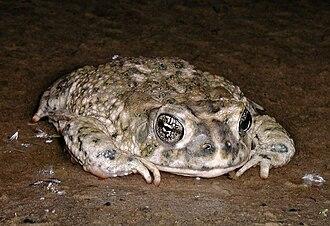 Arroyo toad - Image: Arroyo toad